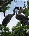 Blue Heron Fight