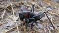 Mormon cricket (Anabrus simplex)