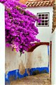 bougainvillea in old obidos