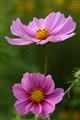Pink Garden Cosmos