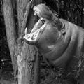 Hippopotamus sample
