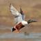 IMG_6052_shovel-fly-4