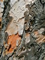 Layers of Tree Bark