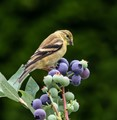 American Goldfinch trying to decide if he should eat a Blueberry.