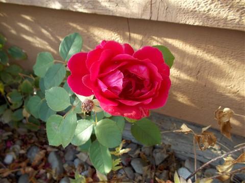 S01 rose