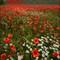 berkshire poppies