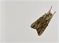 A Resting Moth