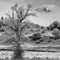 lonely tree bw-