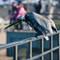 pelican scratching (1 of 1)