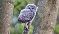 Small owlet venturing up a large tree