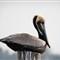 Pelican on Post-1020428
