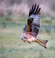 Red Kite feeding on wing