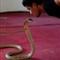 snake kiss 1