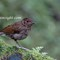Juvenile Blue Robin uncertain