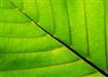 Leaf Line!