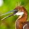 Juvy Tricolored Heron (Egretta tricolor)