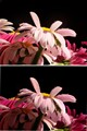 Pink Daisy stack focus