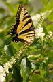 Swallowtail butterfly on summer blossoms