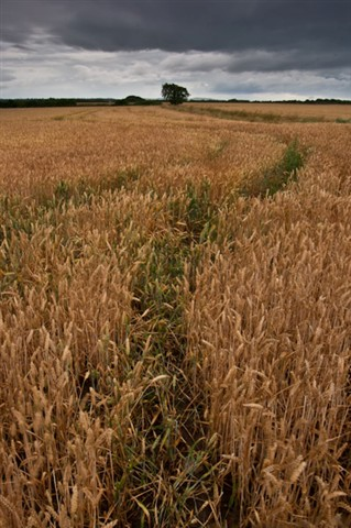 Wheat Field Saughall Massie