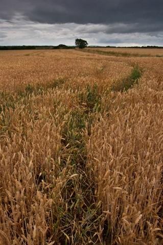 Wheat Field Saughall Massie
