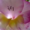 Gladiolus 3 052112