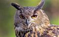 20080227-501604.IMG_3359__Eagle_Owl-01