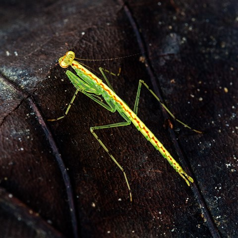 P4050583 q10 yellow green mantis Venus Dr