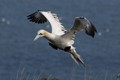 Gannet flying along the top of the cliffs at Bempton trying to find somewhere to land and rest.