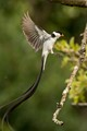 Pin tailed Wydah