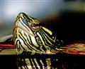 Turtle Peeking