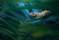 Emma Gray's Lizard