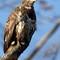 Eagle Hawk 1-26-18 58
