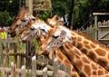 Sydney Zoo Giraffes