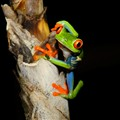 1st in Frogs - Red Eyed Tree Frog