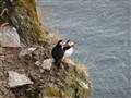 Two Puffins