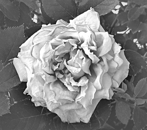 A dying rose