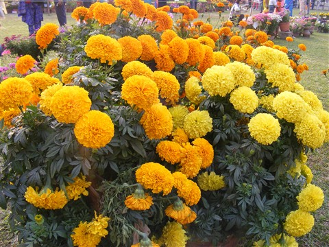 Merrigold in Kolkata Flower Show, India