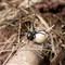 Black Widow with Egg Sac
