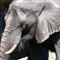 Elephant_MG_2657_AJG