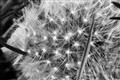 dandelion upclose and cropped