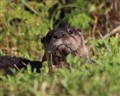 Florida River Otter 2