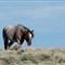 Pilot Butte, WY, Wild Mustangs