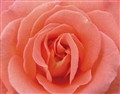 Natures beautiful art expressed through the rose
