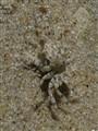Madagascan Crab