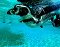 A penguin in the water