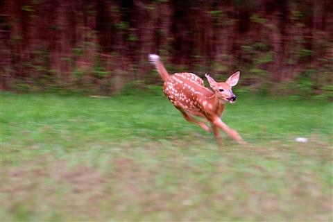 running deer 15