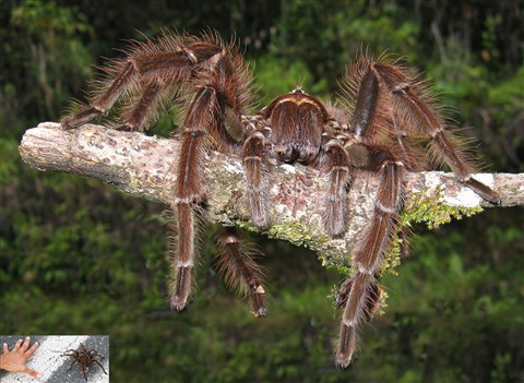 Tarrantula found crossing road in Venezuela with idea of scale