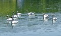 7 Swans a-Swimming