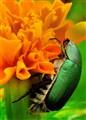 green bettle