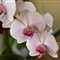 Orhideja-1